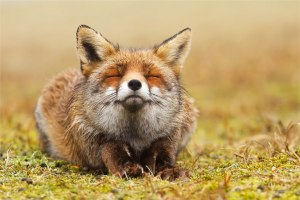 zen-foxes-roeselien-raimond-3__880