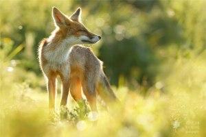zen-foxes-roeselien-raimond-6__880